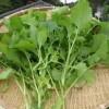 【旬の食材】(からし菜) 栄養素と美味しい(からし菜)の選び方【2月】