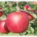【旬の食材】(シナノスイート) 栄養素と美味しい(シナノスイート)の選び方【10月】
