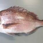 【旬の食材】(真鯛) 栄養素と美味しい(真鯛)の選び方【4月】