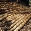 【旬の食材】(自然薯)栄養素と美味しい(自然薯)の選び方【11月】