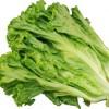 【旬の食材】(グリーンリーフ) 栄養素と美味しい(グリーンリーフ)の選び方【8月】